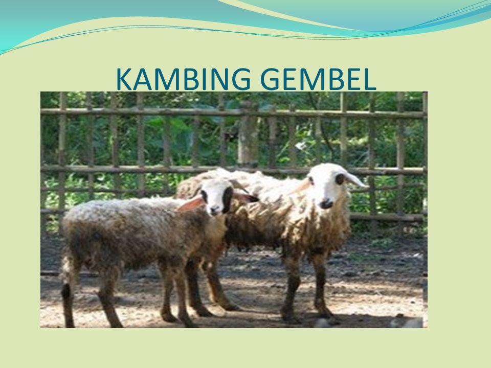 KAMBING GEMBEL