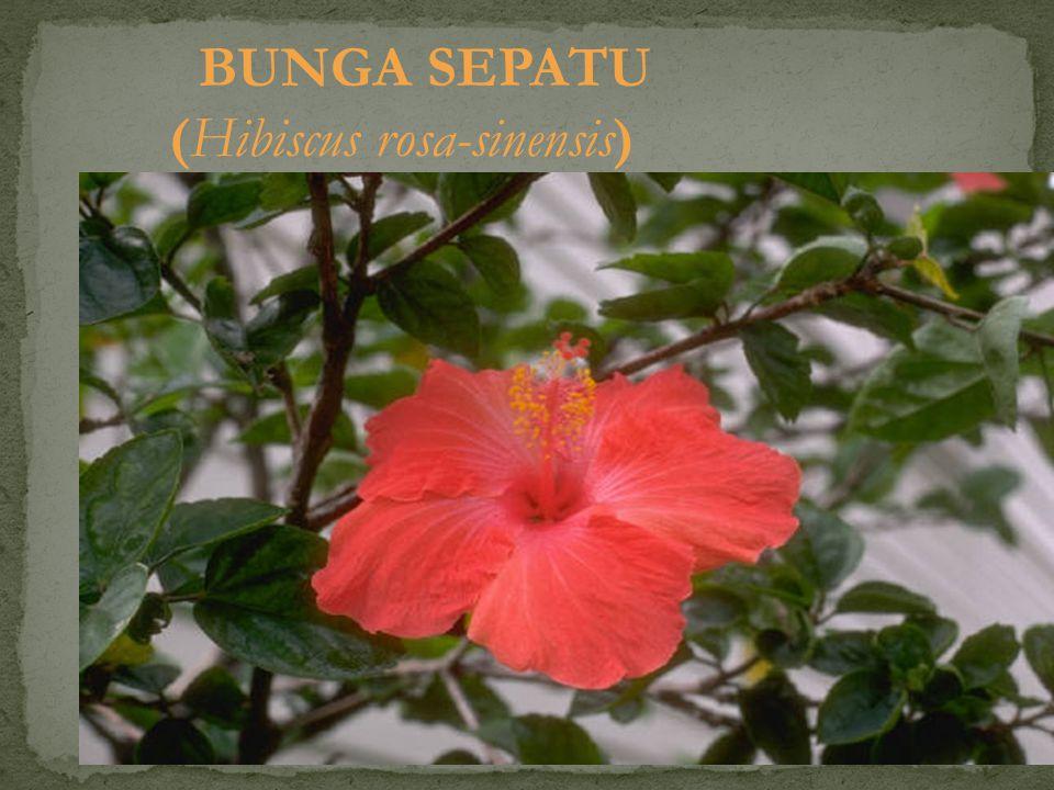 BUNGA SEPATU (Hibiscus rosa-sinensis)