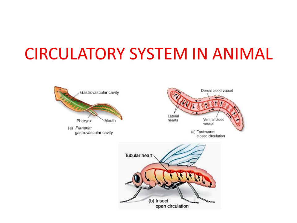 CIRCULATORY SYSTEM IN ANIMAL