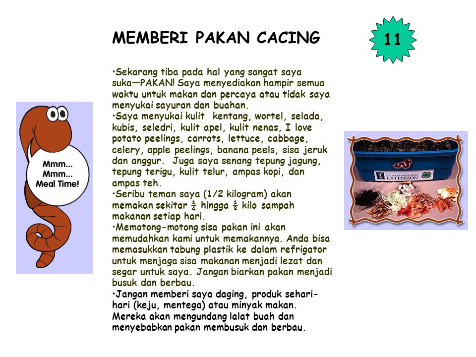 MEMBERI PAKAN CACING 11.