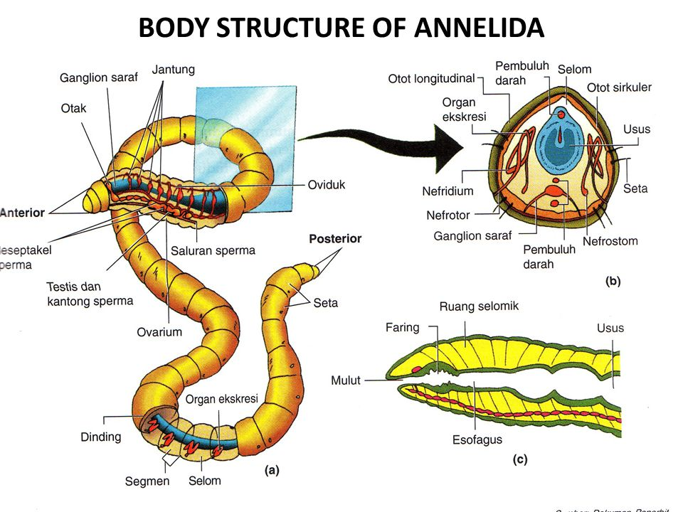 BODY STRUCTURE OF ANNELIDA