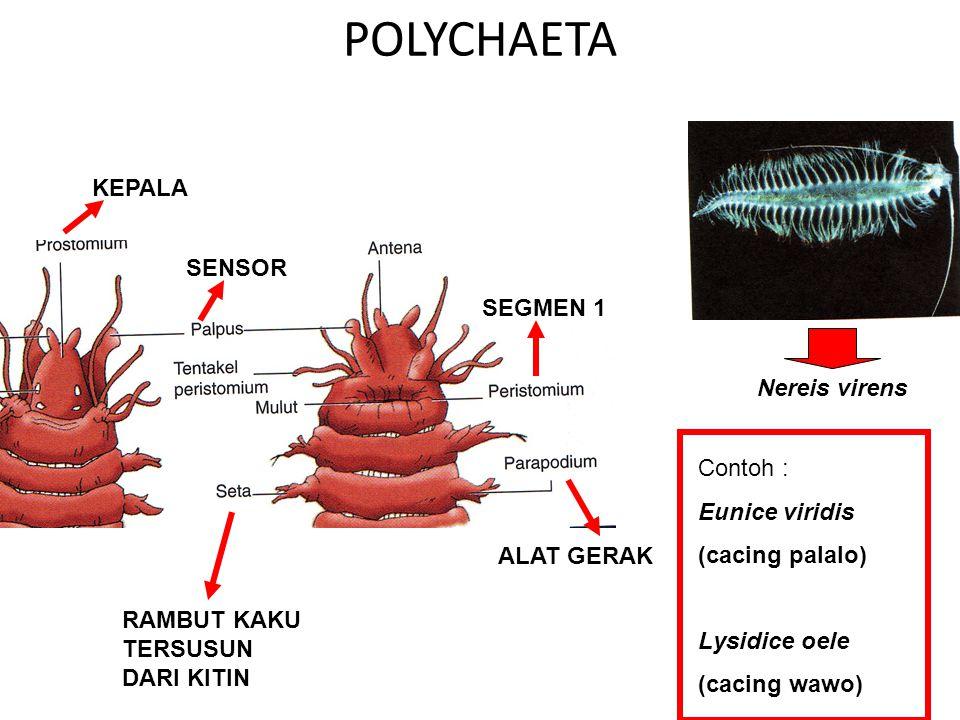 POLYCHAETA KEPALA SENSOR SEGMEN 1 Nereis virens Contoh :