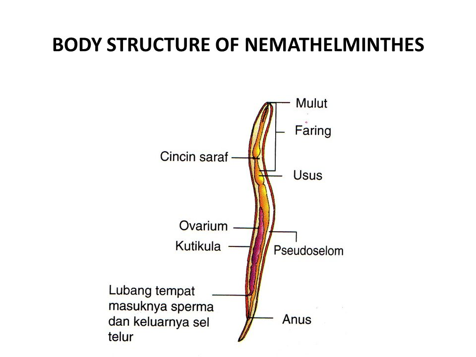 BODY STRUCTURE OF NEMATHELMINTHES