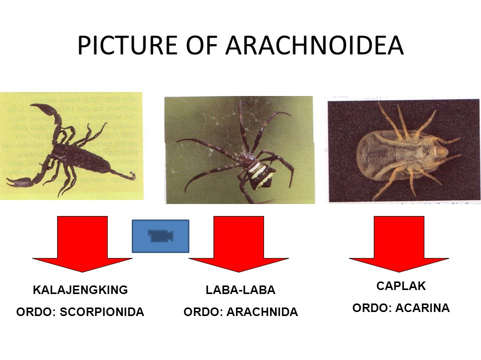 PICTURE OF ARACHNOIDEA