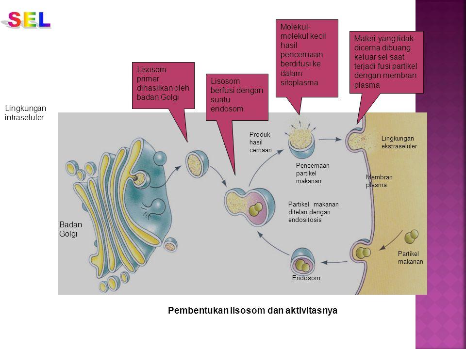 SEL Pembentukan lisosom dan aktivitasnya