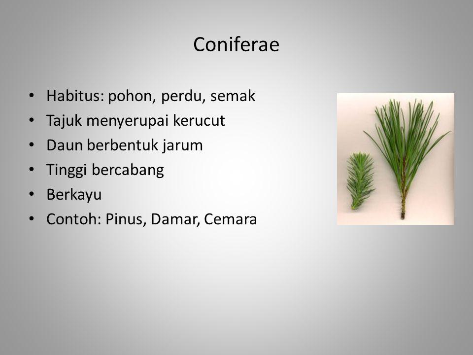 Coniferae Habitus: pohon, perdu, semak Tajuk menyerupai kerucut