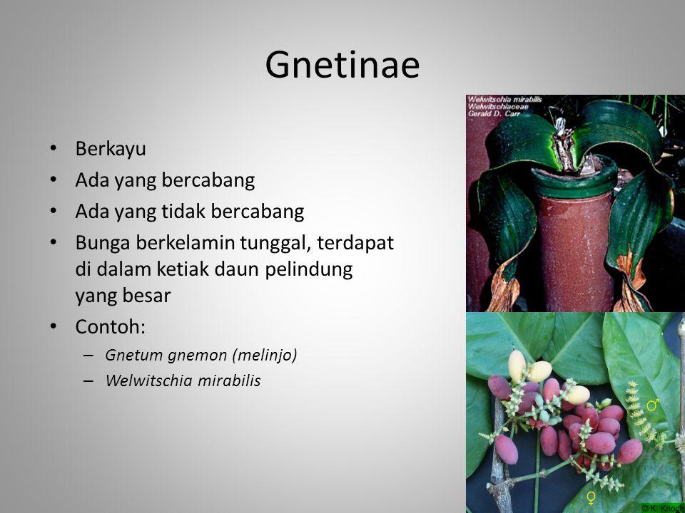 Gnetinae Berkayu Ada yang bercabang Ada yang tidak bercabang