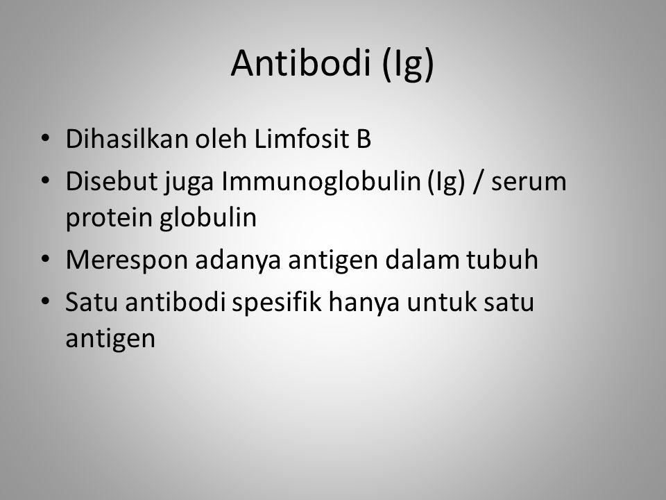 Antibodi (Ig) Dihasilkan oleh Limfosit B