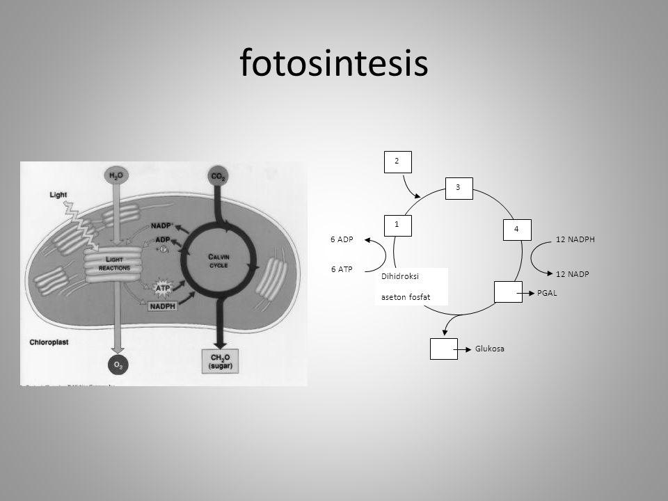 fotosintesis 3 4 PGAL Glukosa Dihidroksi aseton fosfat 1 2 12 NADPH