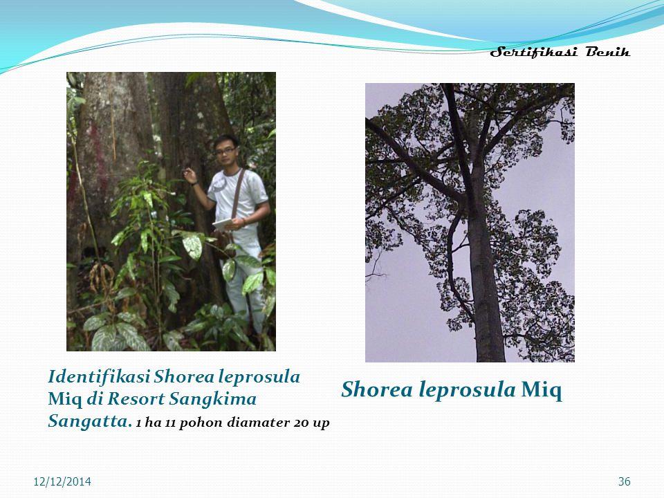 Sertifikasi Benih Identifikasi Shorea leprosula Miq di Resort Sangkima Sangatta. 1 ha 11 pohon diamater 20 up.