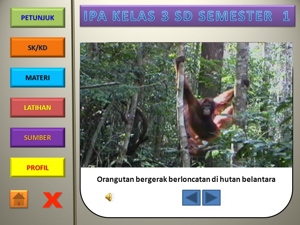 Orangutan bergerak berloncatan di hutan belantara