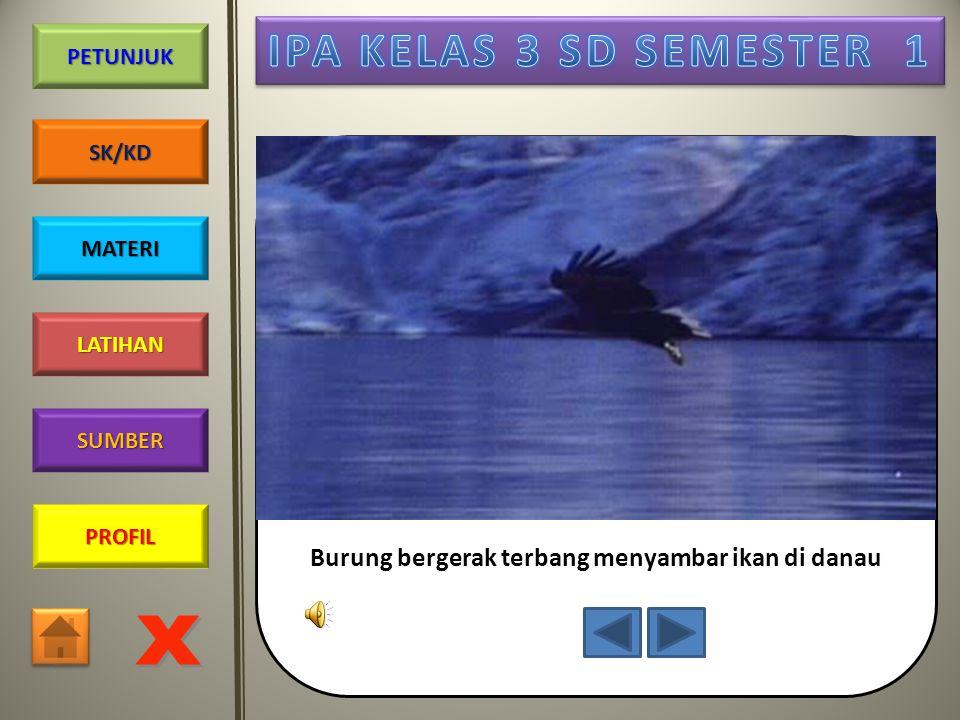 Burung bergerak terbang menyambar ikan di danau