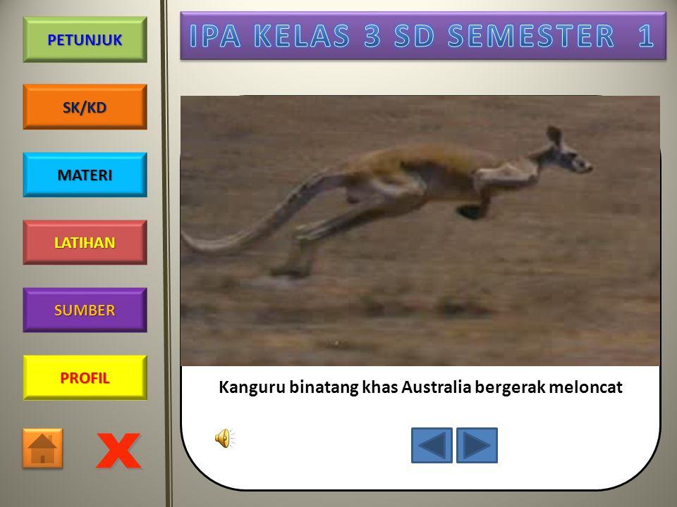 Kanguru binatang khas Australia bergerak meloncat