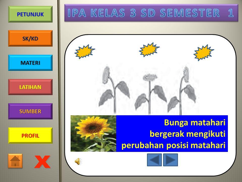 Bunga matahari bergerak mengikuti perubahan posisi matahari