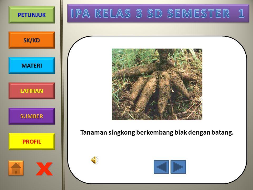 Tanaman singkong berkembang biak dengan batang.