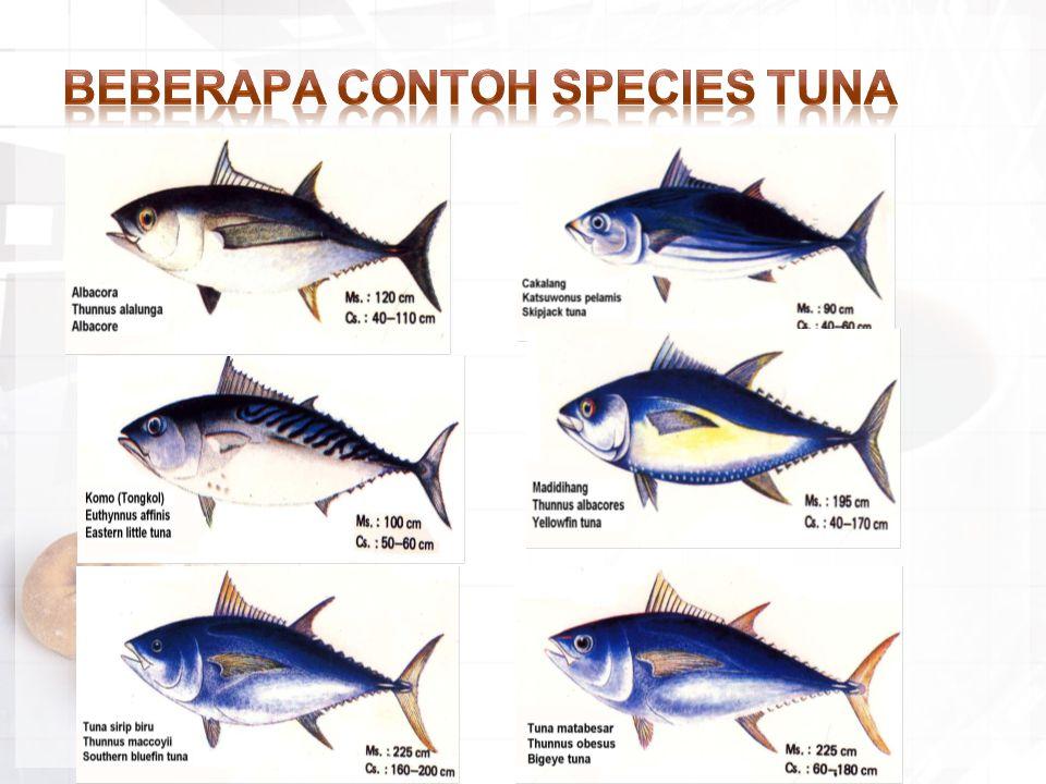 Beberapa Contoh Species Tuna