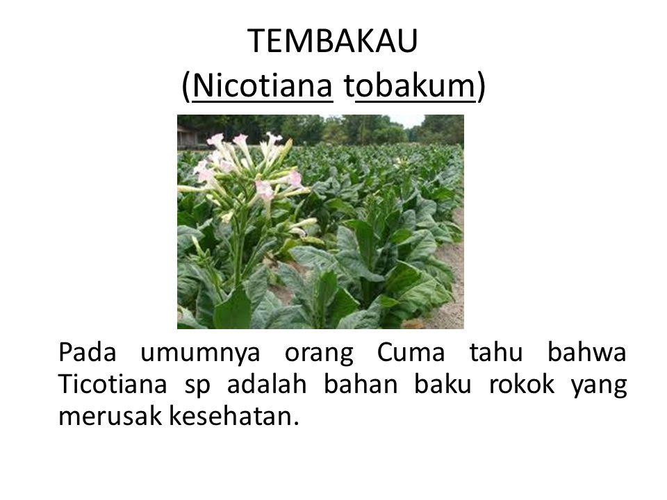 TEMBAKAU (Nicotiana tobakum)