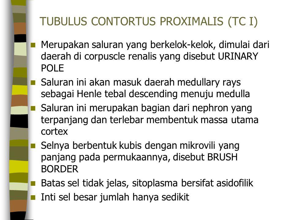 TUBULUS CONTORTUS PROXIMALIS (TC I)