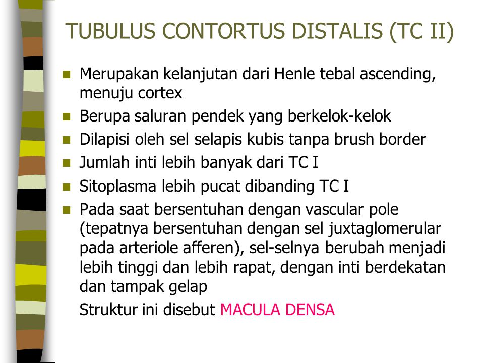 TUBULUS CONTORTUS DISTALIS (TC II)