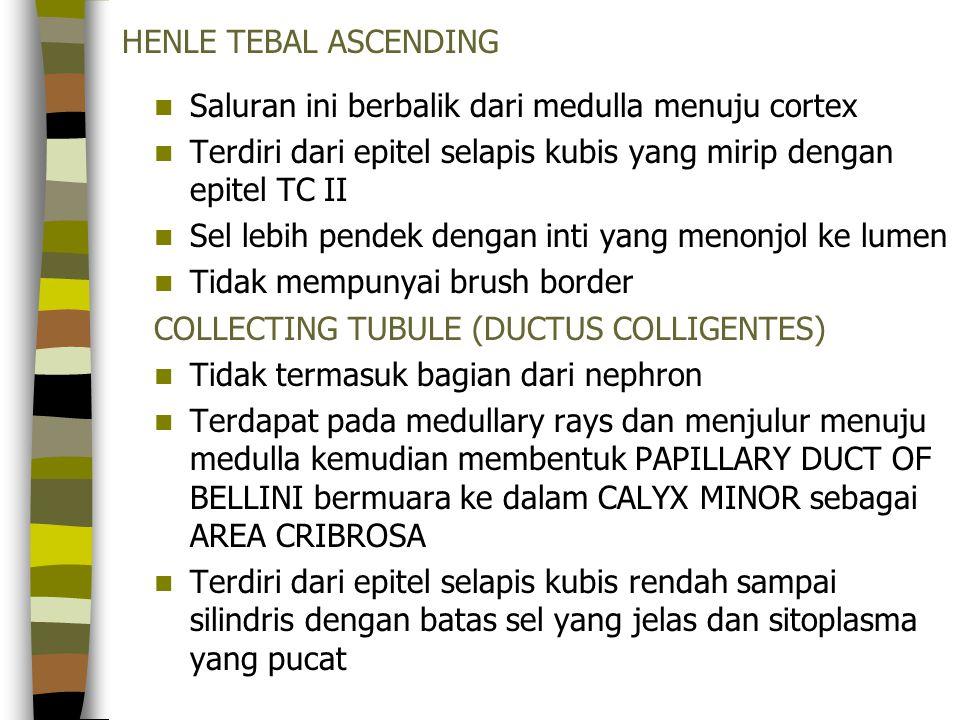 HENLE TEBAL ASCENDING Saluran ini berbalik dari medulla menuju cortex. Terdiri dari epitel selapis kubis yang mirip dengan epitel TC II.