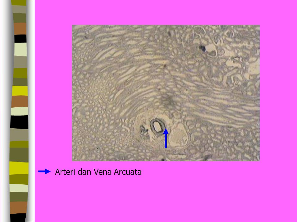 Arteri dan Vena Arcuata