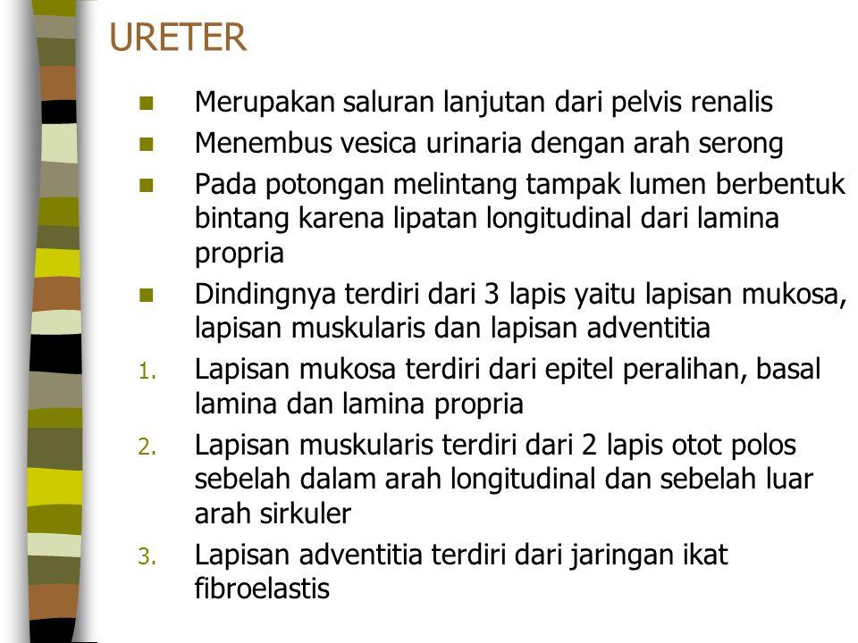 URETER Merupakan saluran lanjutan dari pelvis renalis