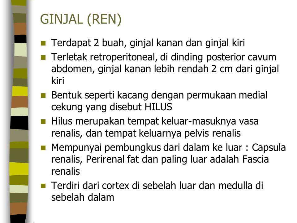 GINJAL (REN) Terdapat 2 buah, ginjal kanan dan ginjal kiri