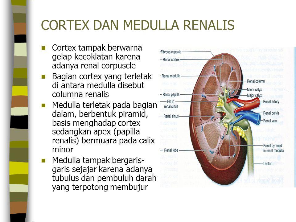 CORTEX DAN MEDULLA RENALIS