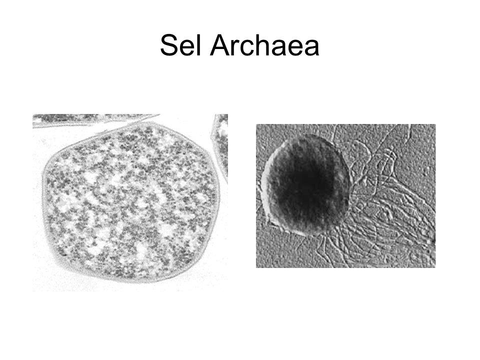 Sel Archaea