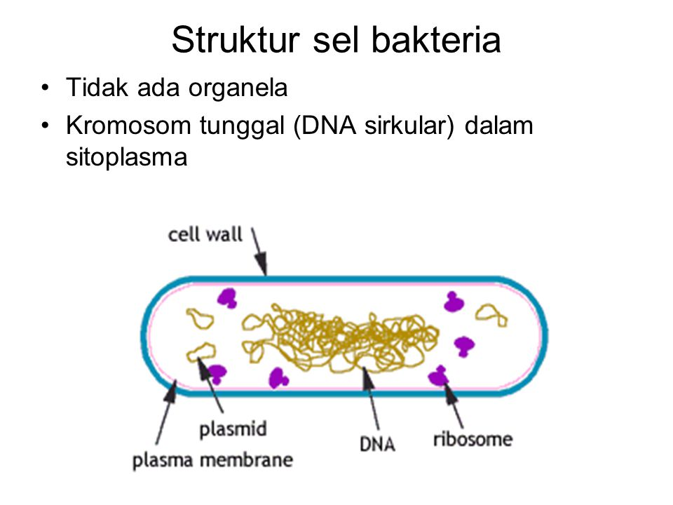 Struktur sel bakteria Tidak ada organela