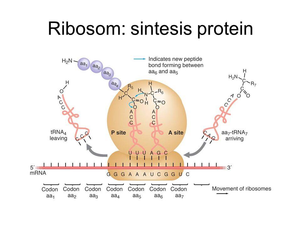 Ribosom: sintesis protein