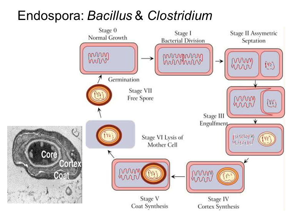 Endospora: Bacillus & Clostridium