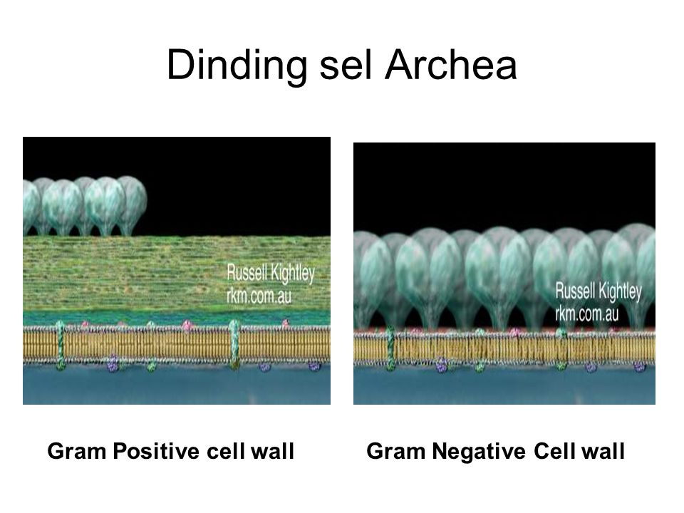 Dinding sel Archea Gram Positive cell wall Gram Negative Cell wall
