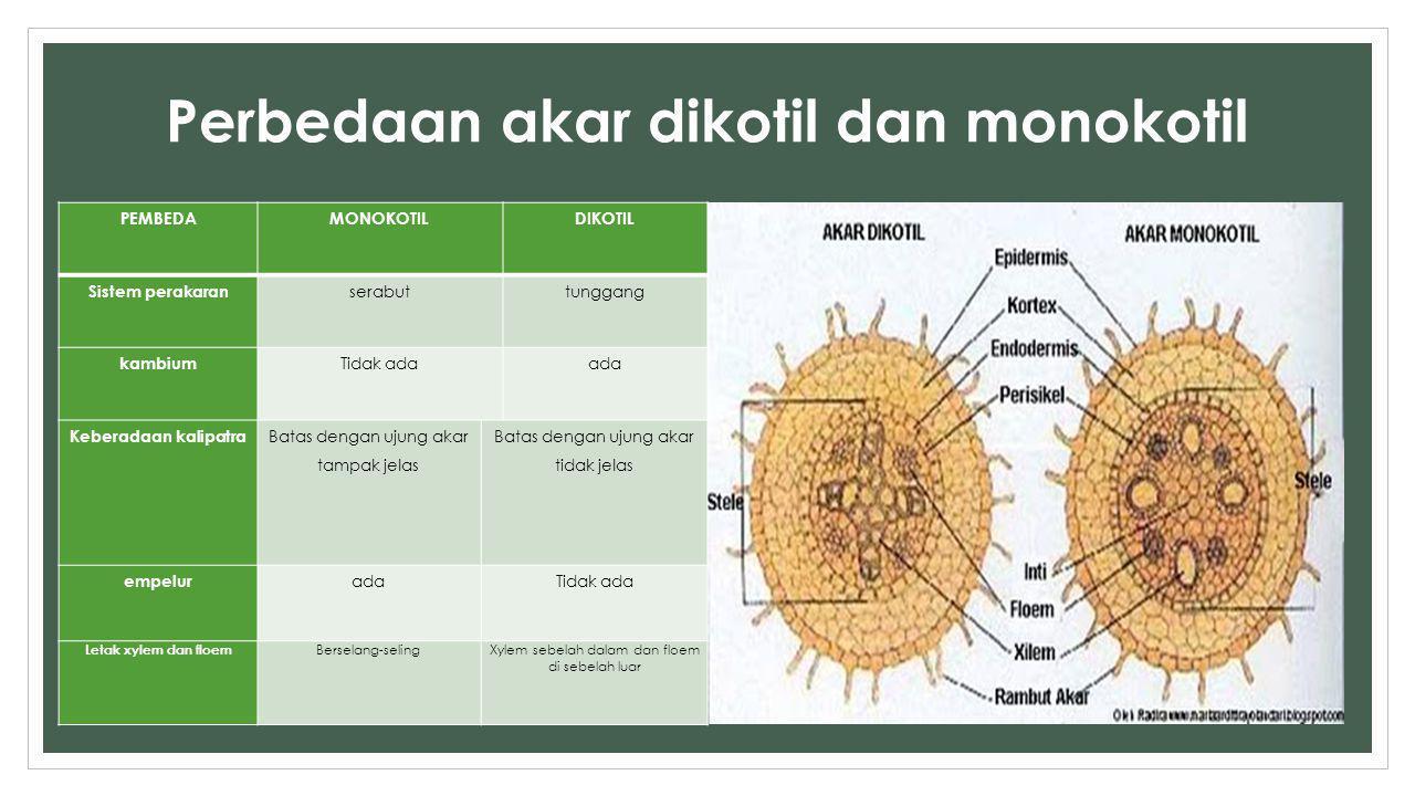 Perbedaan akar dikotil dan monokotil