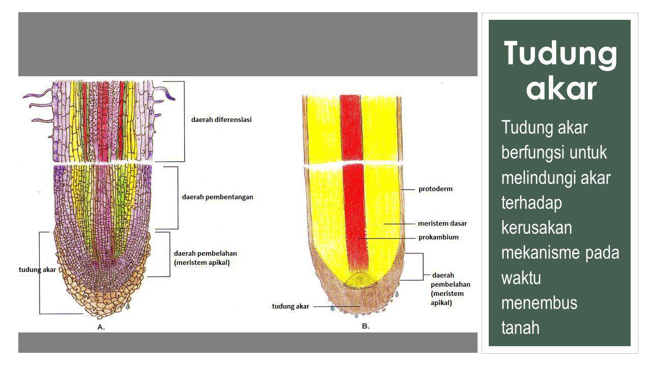 Tudung akar Tudung akar berfungsi untuk melindungi akar terhadap kerusakan mekanisme pada waktu menembus tanah.
