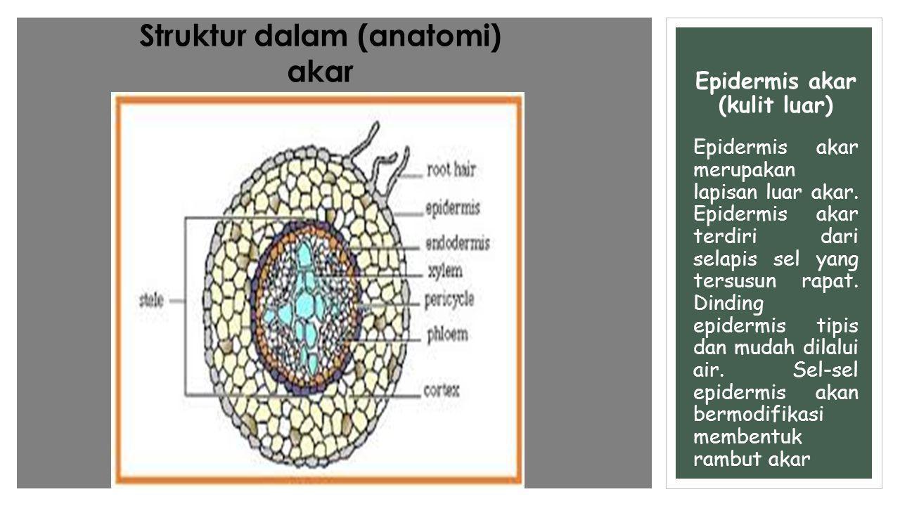 Epidermis akar (kulit luar)