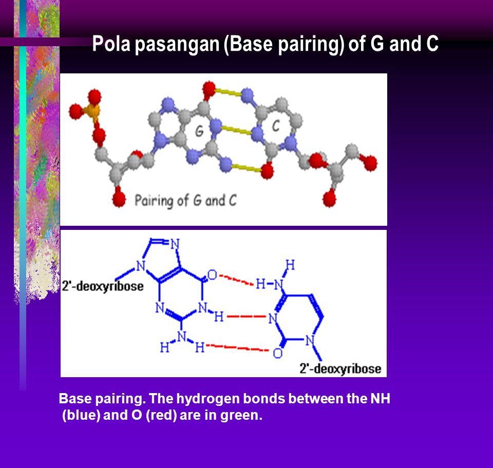 Pola pasangan (Base pairing) of G and C