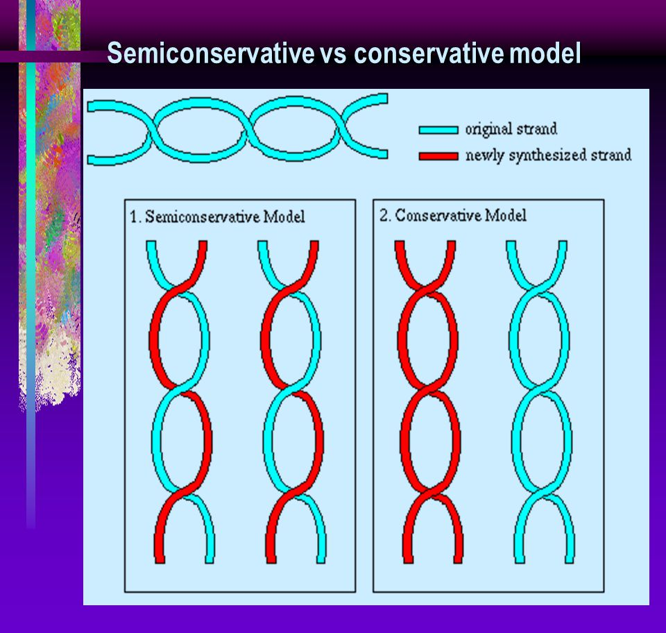 Semiconservative vs conservative model