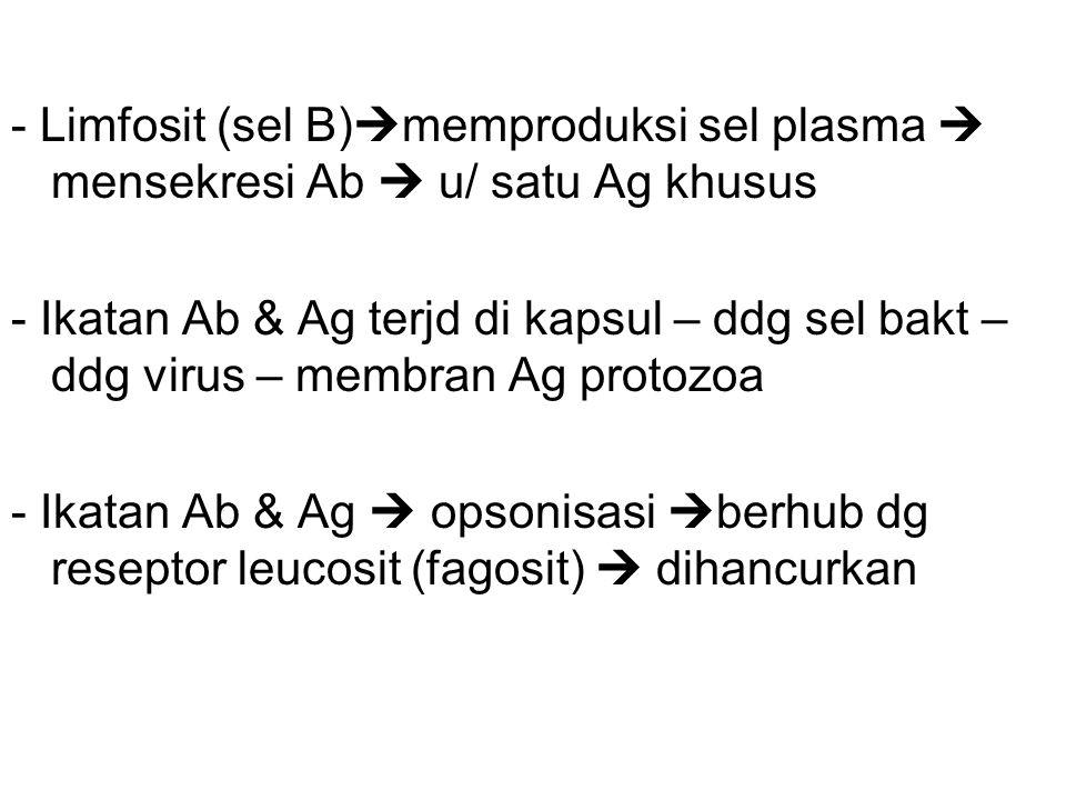 - Limfosit (sel B)memproduksi sel plasma  mensekresi Ab  u/ satu Ag khusus