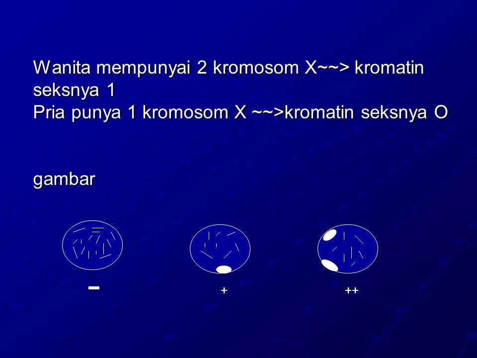 Wanita mempunyai 2 kromosom X~~> kromatin seksnya 1 Pria punya 1 kromosom X ~~>kromatin seksnya O gambar