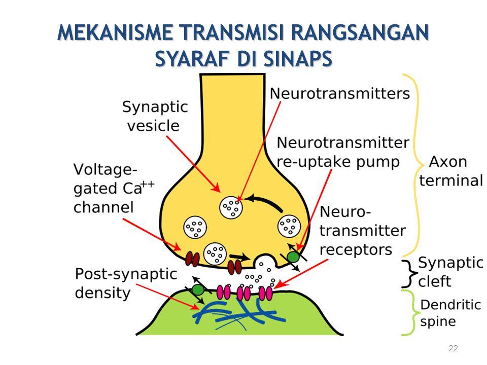 MEKANISME TRANSMISI RANGSANGAN SYARAF DI SINAPS