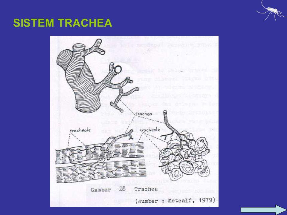 SISTEM TRACHEA