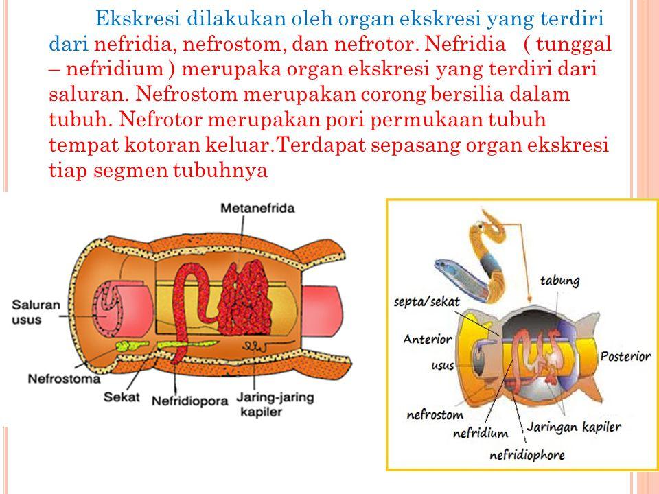 Ekskresi dilakukan oleh organ ekskresi yang terdiri dari nefridia, nefrostom, dan nefrotor.
