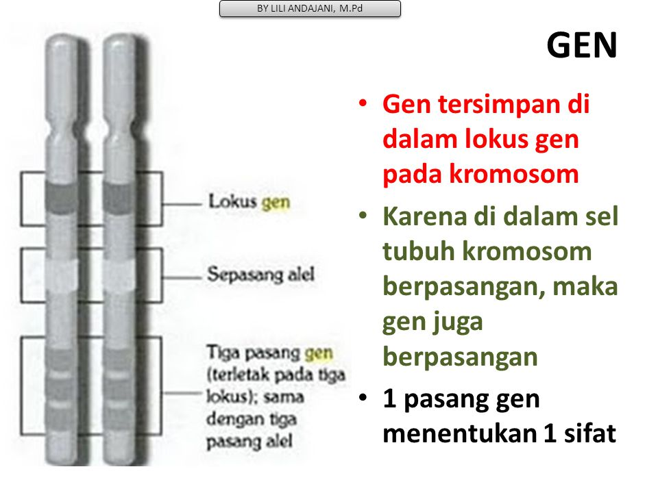 GEN Gen tersimpan di dalam lokus gen pada kromosom