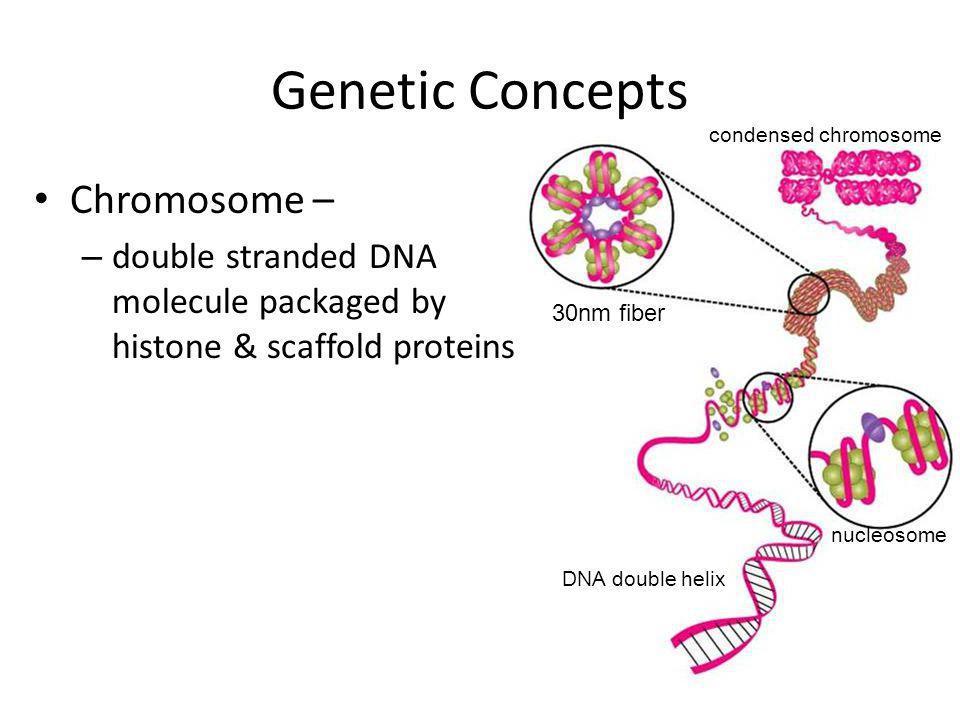 Genetic Concepts Chromosome –