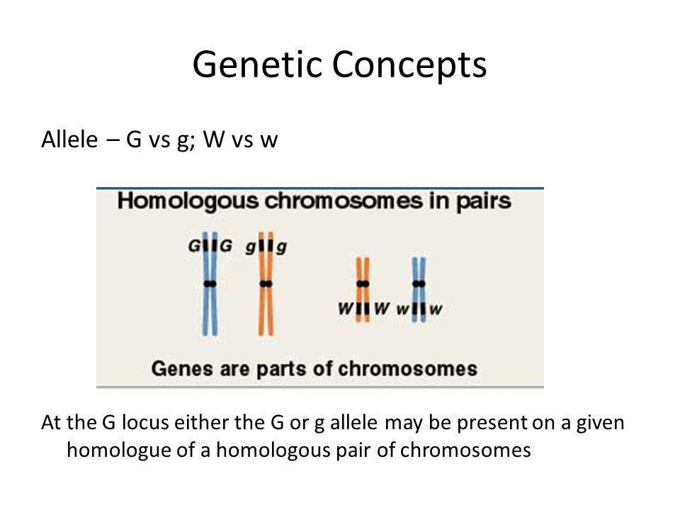 Genetic Concepts Allele – G vs g; W vs w