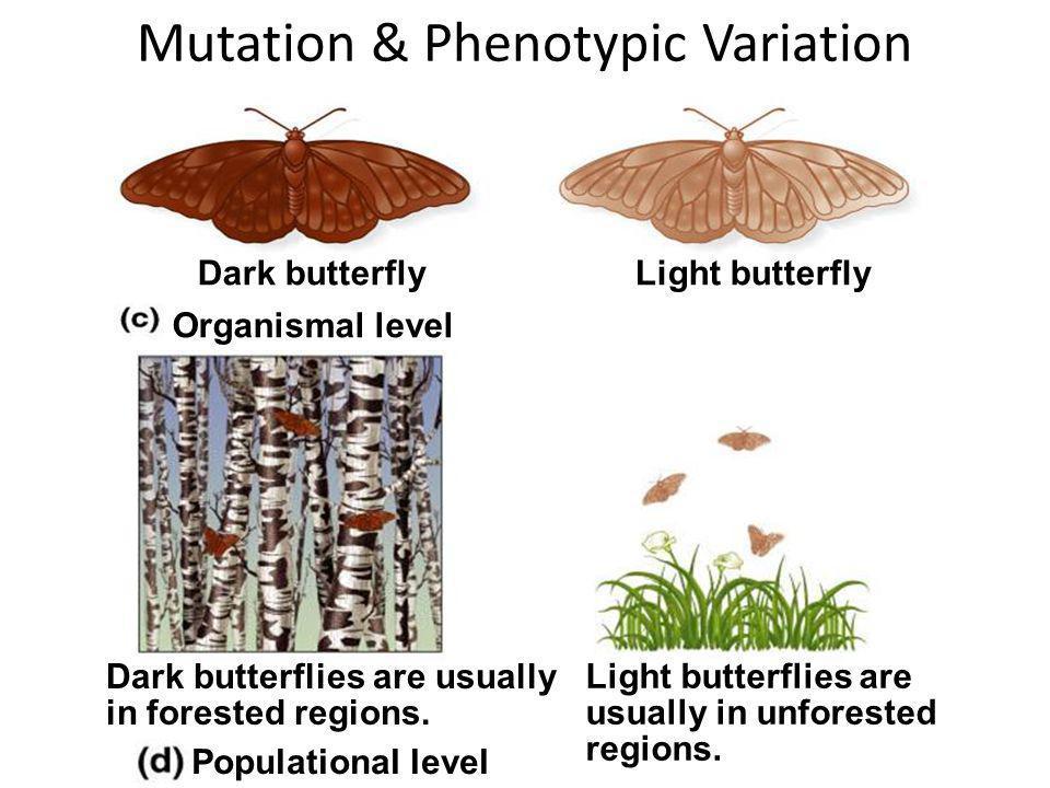 Mutation & Phenotypic Variation