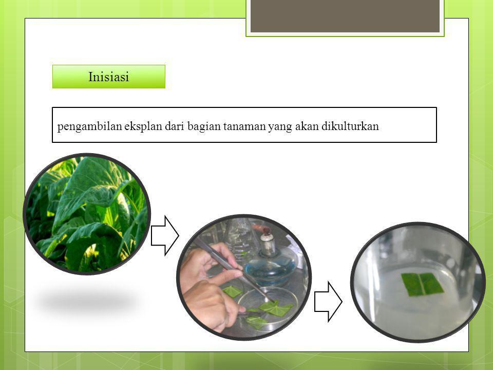 Inisiasi pengambilan eksplan dari bagian tanaman yang akan dikulturkan