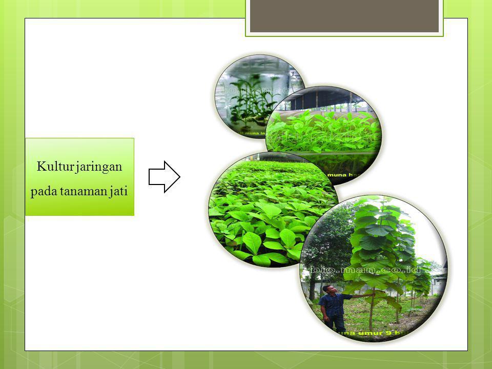 Kultur jaringan pada tanaman jati
