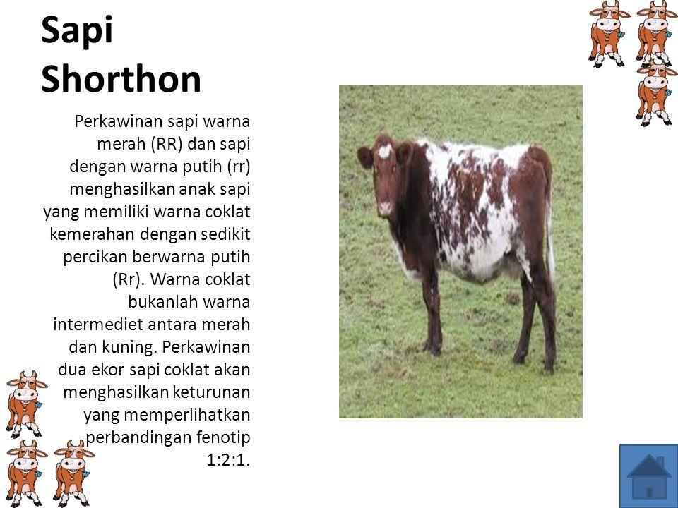 Sapi Shorthon